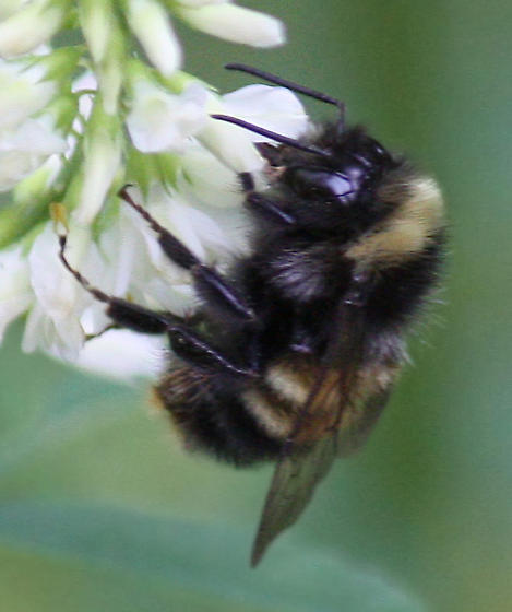 yellow-banded bumble bee - Bombus terricola - male