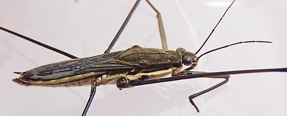 Water Strider - Aquarius conformis - female