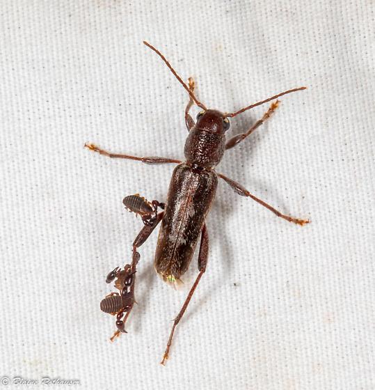 Cerambycid - Xylotrechus sagittatus