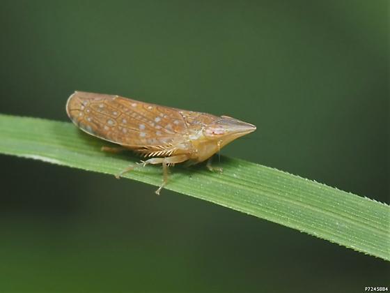 Scaphytopius