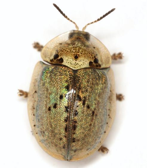Physonota alutacea Boheman - Physonota alutacea