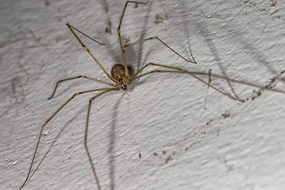 long legs in the cellar