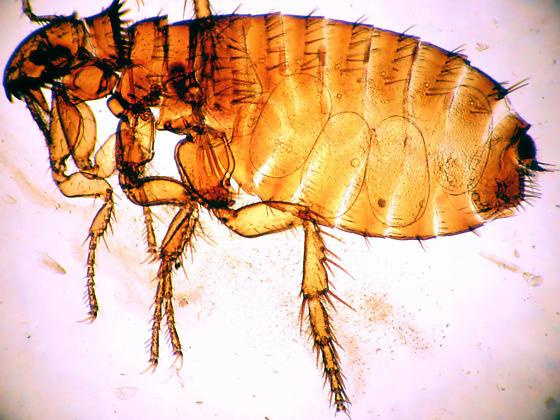 Gravid cat flea - Ctenocephalides felis - female