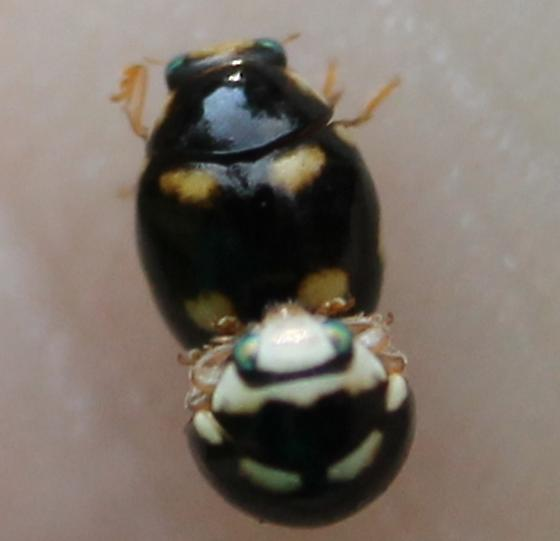 Small Mating Beetles - male - female