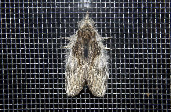 MthSmllBrwnSlvrFzzy'080510 - Peridea basitriens