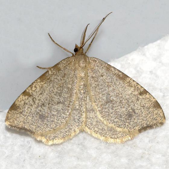 Drab Angle Moth - Macaria evagaria - male