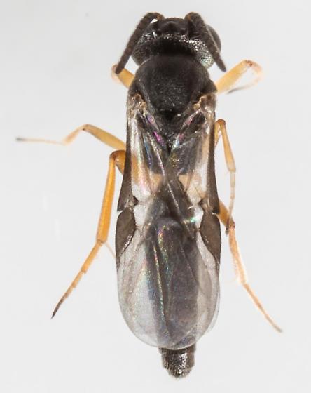 Wasp - Elasmosoma
