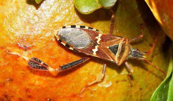 Western Leaf-footed Bug, Leptoglossus clypealis? - Leptoglossus clypealis