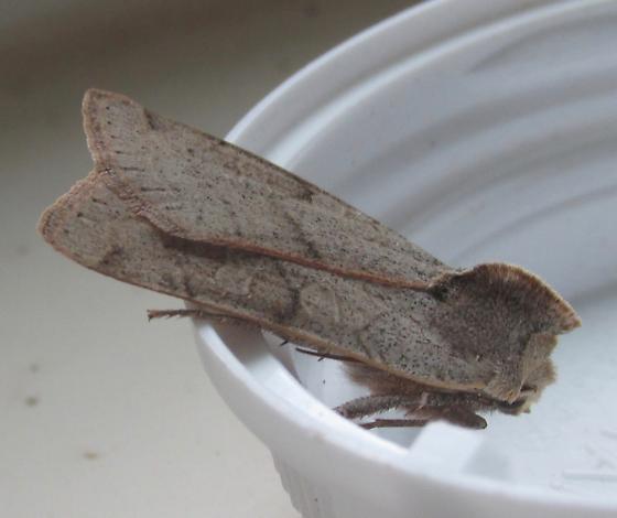 Moth#2017-26 - Richia chortalis