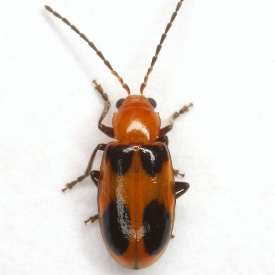 Malacorhinus acaciae (Schaeffer) - Malacorhinus acaciae - male