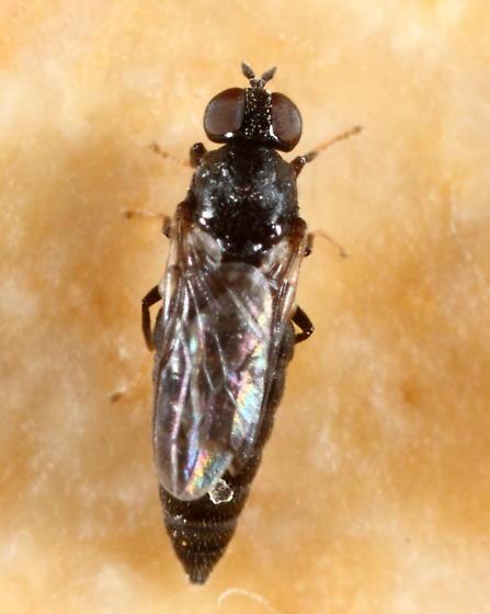 Fly - Scenopinus