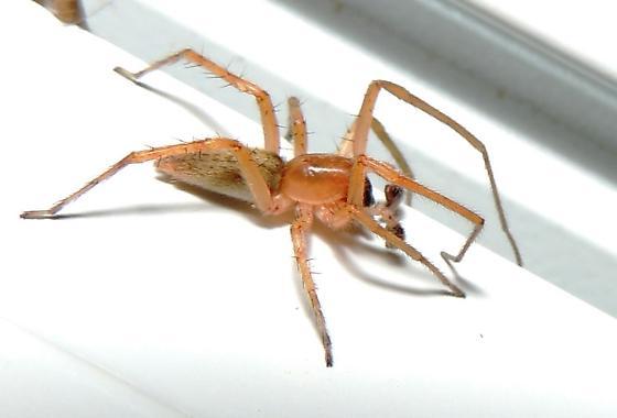 Charming Light Brown Spider   Hibana