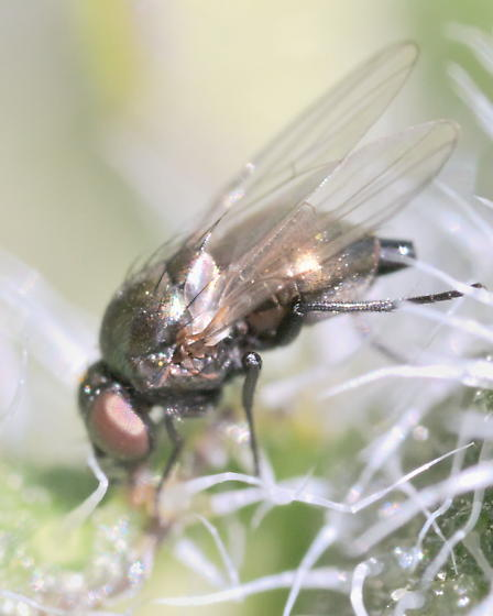Fly ~3mm