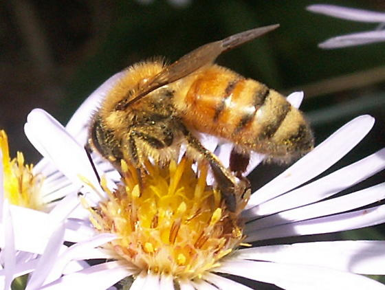 Is this a worker honey bee? - Apis mellifera