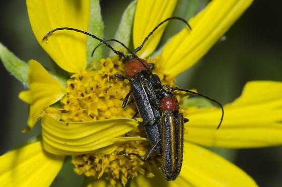 Mating Longhorn Beetles - Mannophorus laetus - male - female