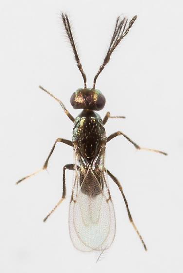 Wasp - Tetracnemoidea - male