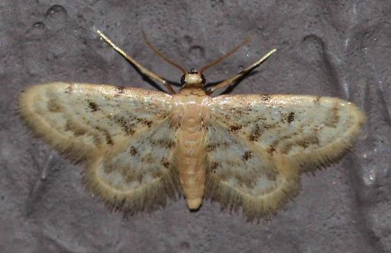 moth - Idaea