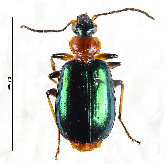 Another beauty.. - Lebia viridipennis