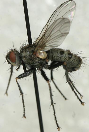 Pachyceramyia robusta - male
