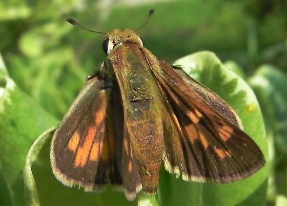 Grass Skipper - Hylephila phyleus