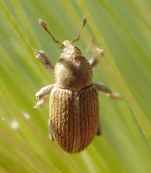 Weevil - Tychius