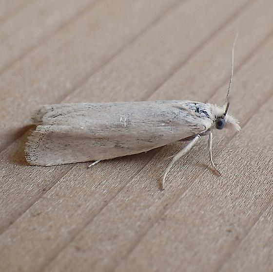 Tortricidae: Pelochrista - Pelochrista