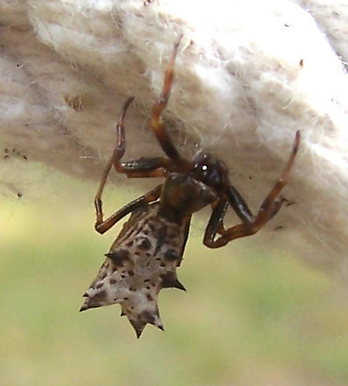 Crazy Spider with Spiked Behind! - Micrathena gracilis - female