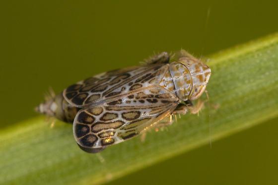 Latalus - Errastunus ocellaris