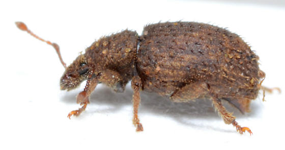 Weevil in collection of immature Carya texana fruit - Cercopeus