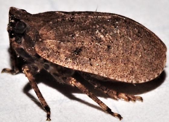 Planthopper ID Request - Paralixes scutatus