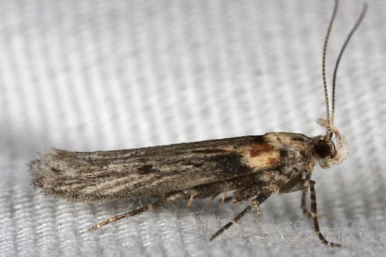 unknown moth - Gnorimoschema baccharisella