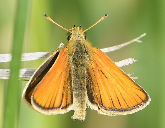 European Skipper - Thymelicus lineola