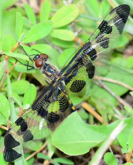 Spotted Dragonfly - Celithemis fasciata