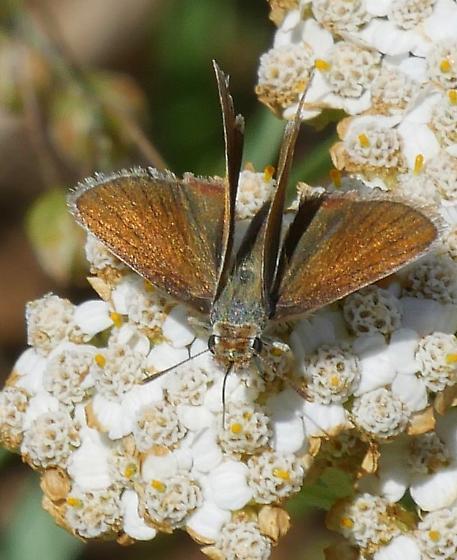 small butterfly - Oarisma garita