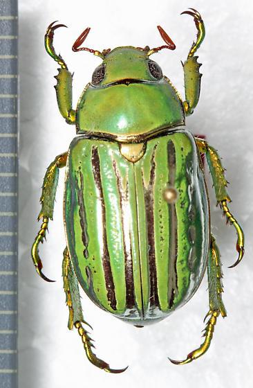 Scarabaeidae - Chrysina gloriosa