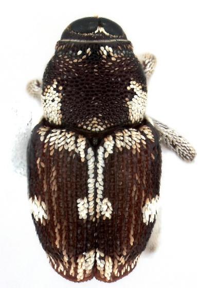 Copturomorpha rileyi Hespenheide, allotype - Copturomorpha rileyi - female