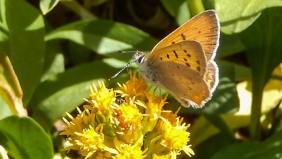 Lycaena nivalis - Lilac-bordered Copper male - Lycaena nivalis - male