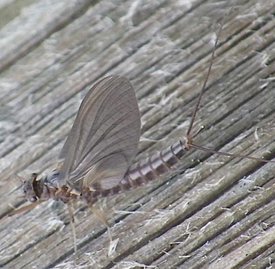 some Ephemeroptera - Leptophlebia