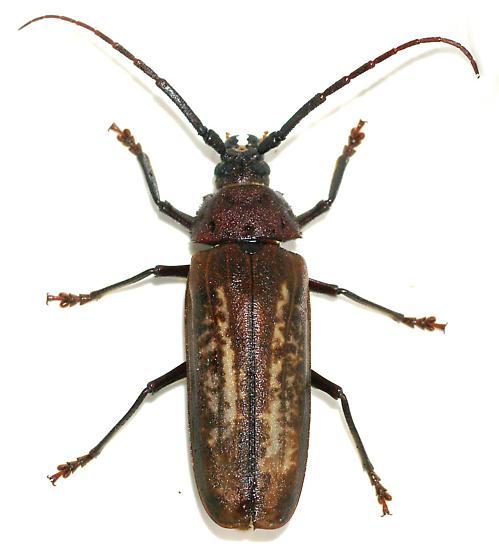 Trichocnemis spiculatus neomexicanus  - Trichocnemis spiculatus