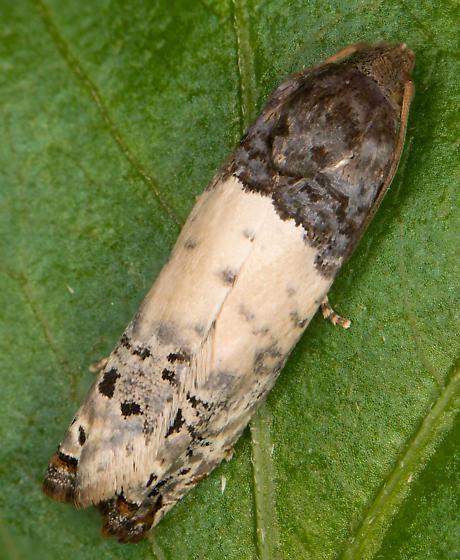 Moth - Epiblema scudderiana