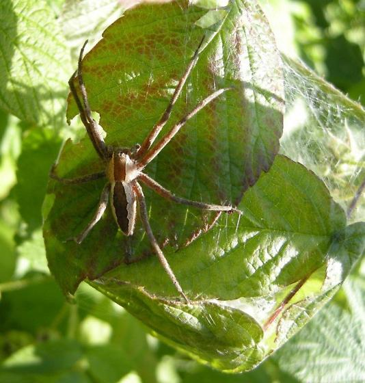 Female Nursery Web Spider and nest of hatch-lings - Pisaurina mira - female