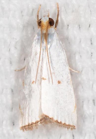 Argyria lacteella - Milky Urola - Argyria lacteella