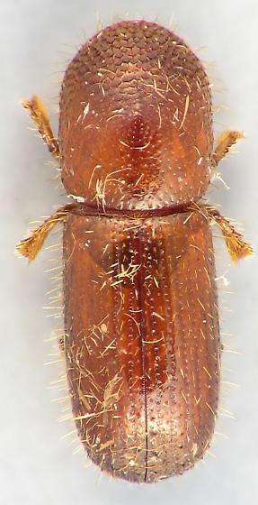 Scolytini #4 - Xyleborus pubescens