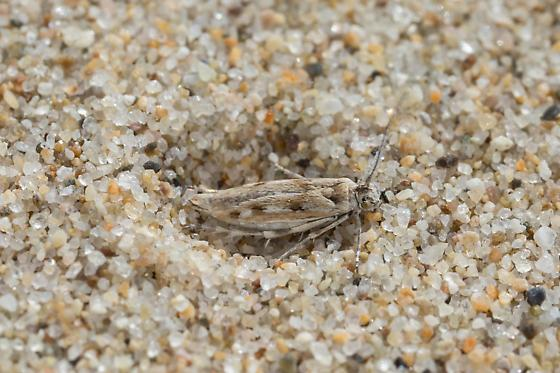 Oso Flaco Flightless Moth - Areniscythris brachypteris