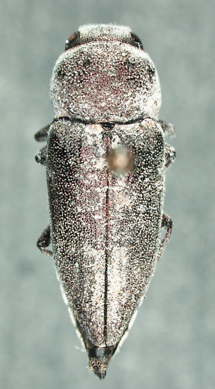 Nanularia sp. - Nanularia - female
