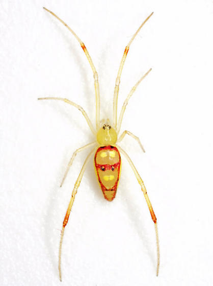 Spintharus flavidus Hentz - Spintharus flavidus - female