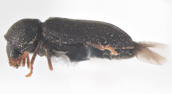 Ptinidae, Death-watch Beetle, lateral - Ptilinus ruficornis - male
