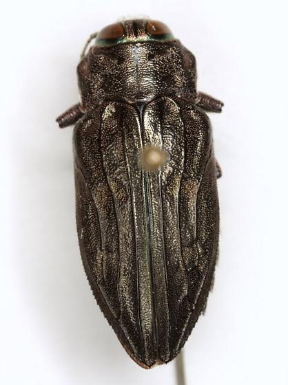 Chrysobothris merkelii Horn - Chrysobothris merkelii