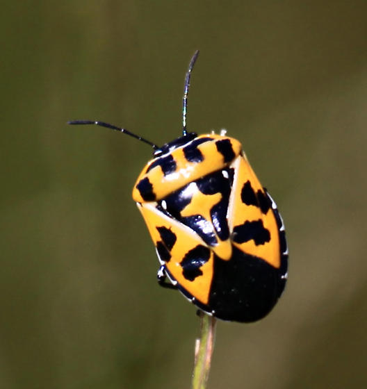 Unidentified yellow and black beetle - Murgantia histrionica