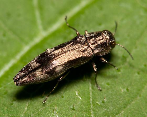 Beetle - Agrilus lecontei